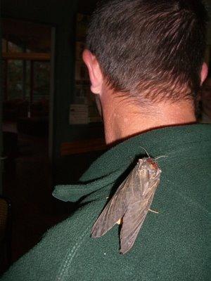 Giant Wood Moth