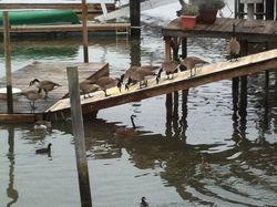 Lark_geese
